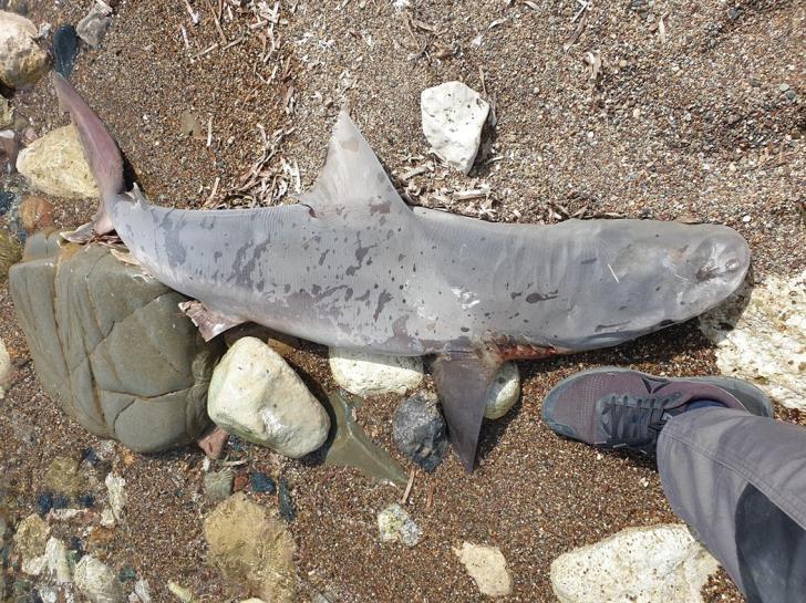 Νεκρός καρχαρίας στην περιοχή της Κωνσταντινούπολης (βλ. Φωτογραφία)